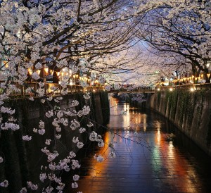Cherry Blossoms, Nakameguro