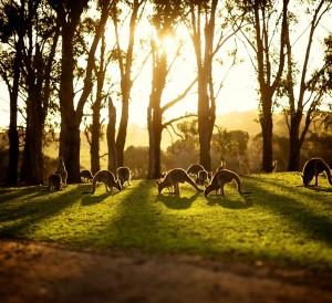kangaroos-sunset-australia_68756_990x742