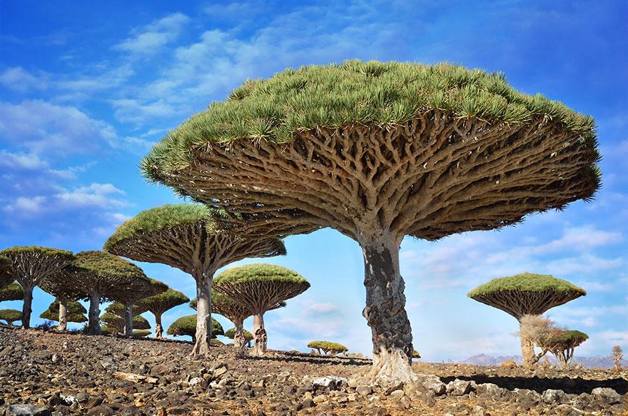 Dragonblood Ağaçlar, Sokotra , Yemen