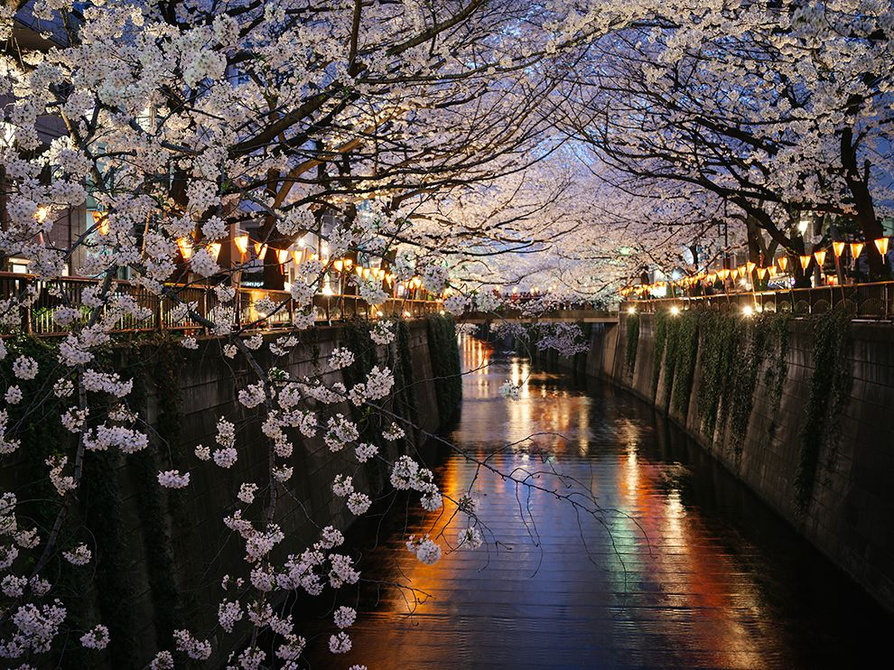 Cherry Blossoms, Nakameguro