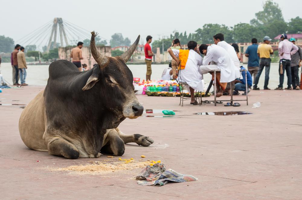 Hindistan İnekleri