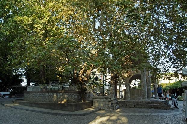 Hipokrat Ağacı